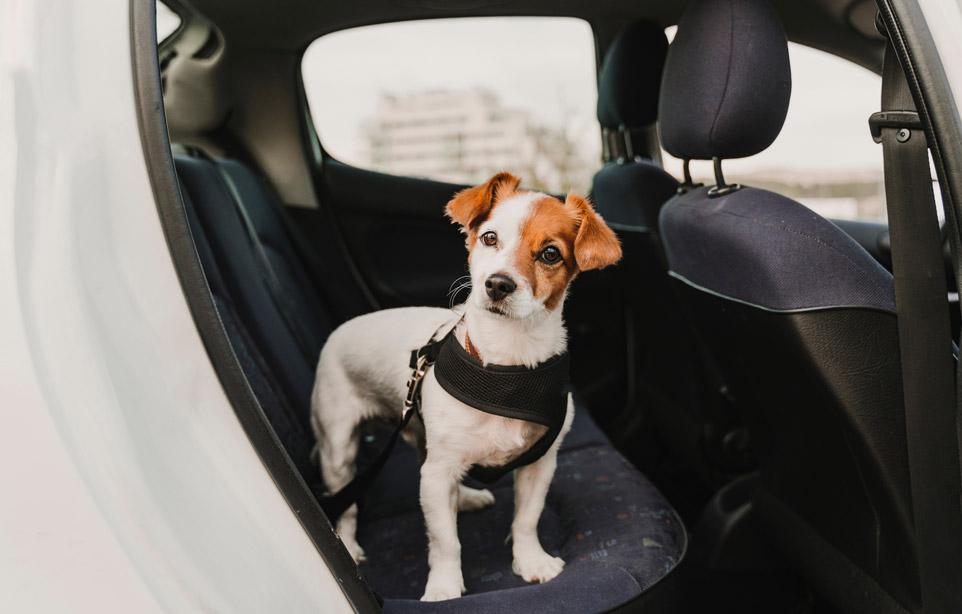 Trasportare i cani in auto. Sicurezza sua e di chi guida.